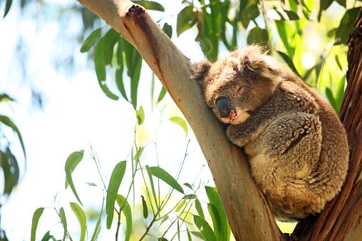 Wild Koala Sleeping On Eucaliptus Tree in Australia 468653742