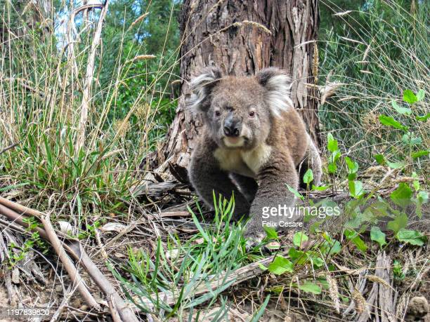 a wild koala walking and looking at the camera in south australia - australia fire stock pictures, royalty-free photos & images