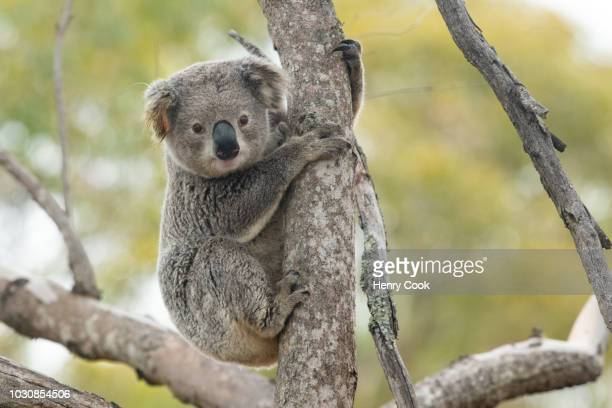 wild koala with ear-tag/radio transmitter. - koala stock photos and pictures