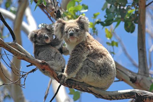 Wild Koalas along Great Ocean Road, Victoria, Australia 471586435
