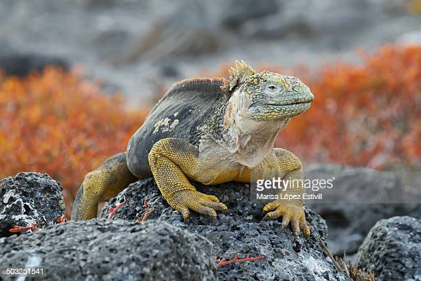 wild land iguana in south plaza island - land iguana stock photos and pictures
