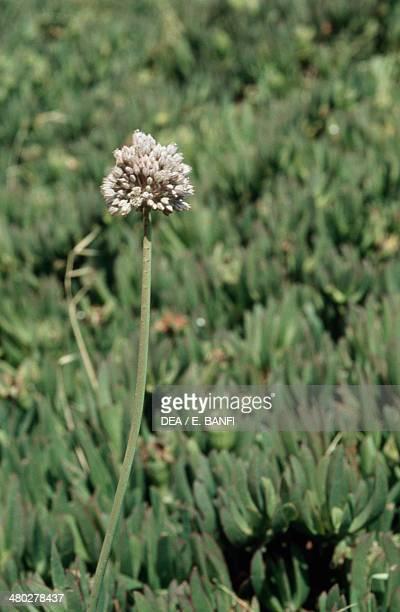 Wild Leek or Sea Garlic Amaryllidaceae