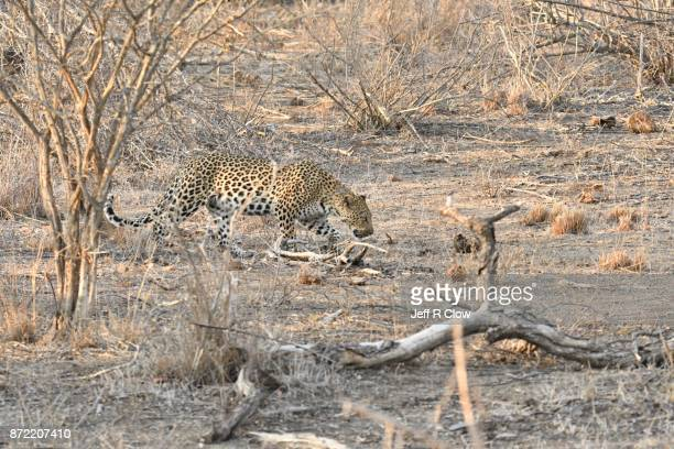 Wild leopard hunting in South Africa
