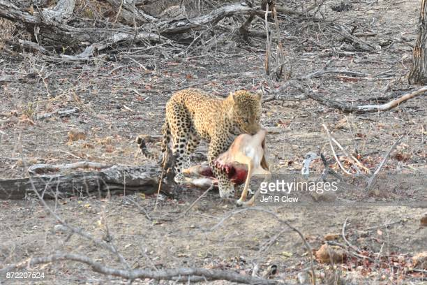 Wild leopard hunting in South Africa with impala