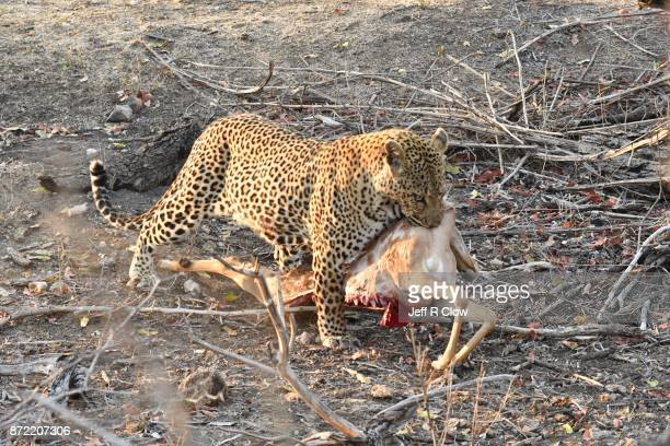 Wild leopard in South Africa with its kill 2