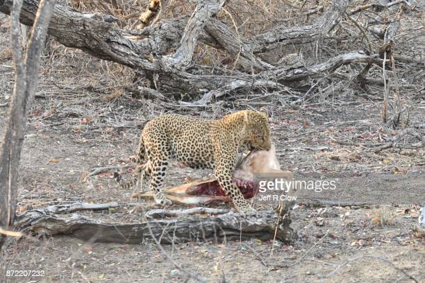Wild leopard in South Africa with its kill