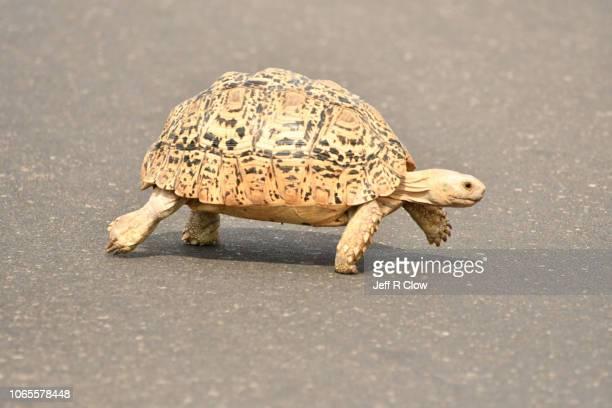 wild leopard turtle crosses the road  in south africa - dermoquélidos fotografías e imágenes de stock