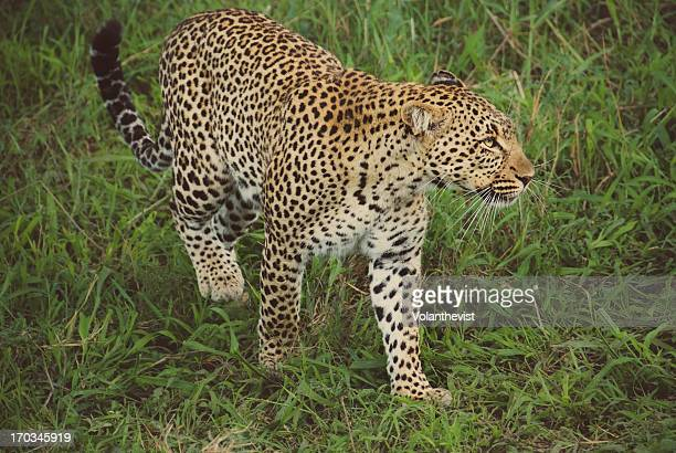 wild leopard walking on the grass in the serengeti - leopard photos et images de collection