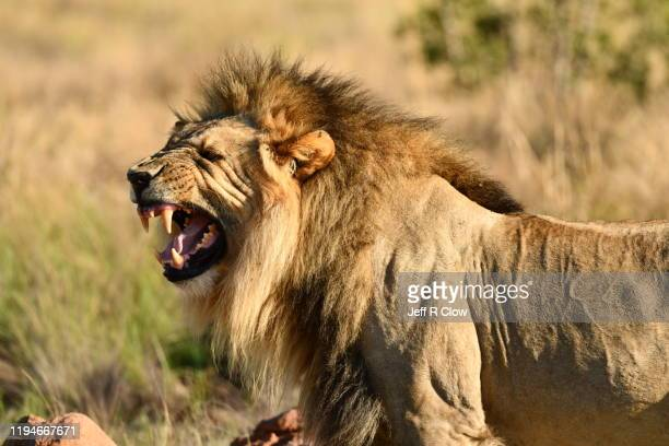 wild lion in south africa - 動物の歯 ストックフォトと画像