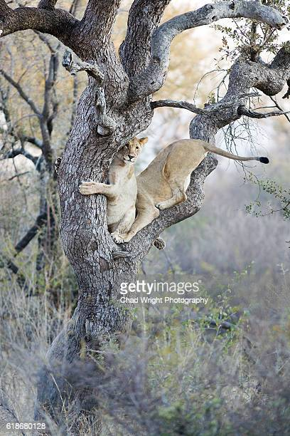 Wild lionesses climbing a tall tree
