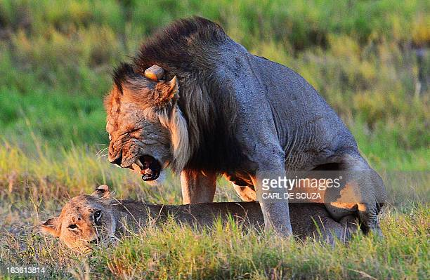 Wild lions are pictured mating at Amboseli national park in Kenya on March 13 2013 Amboseli's lion population only a few years ago numbered just 100...