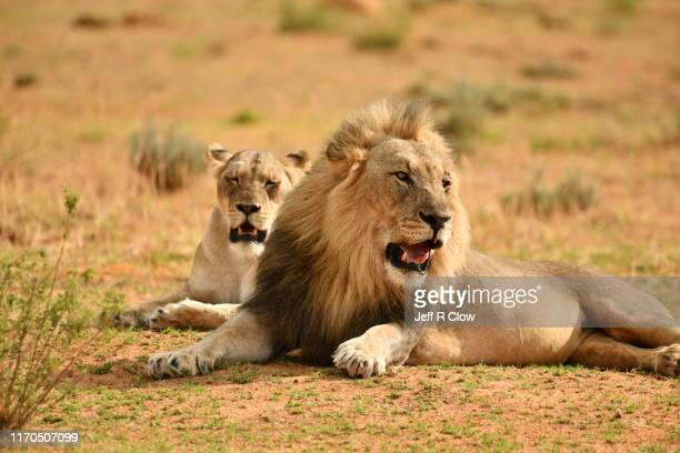 wild lions in africa on a photo safari - male animal stock pictures, royalty-free photos & images