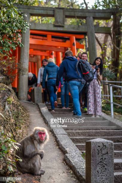 Wild macaque monkey in Fushimi inari taisha, Kyoto, japan