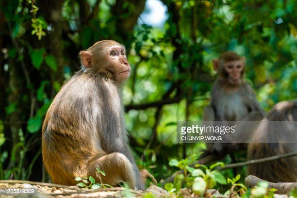 そこに座っている日常生活の野生のマカク- 猿 - マカク属 ストックフォトと画像