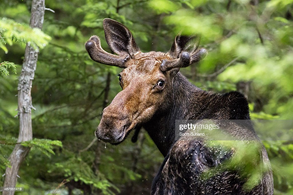 Wild Maine Moose on the Loose... : Stock Photo