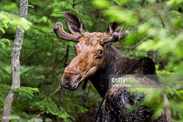 Wild Maine Moose on the Loose...
