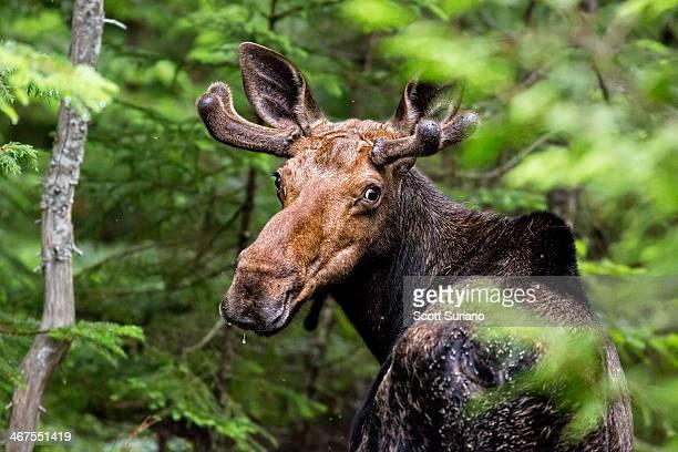 wild maine moose on the loose... - älg bildbanksfoton och bilder