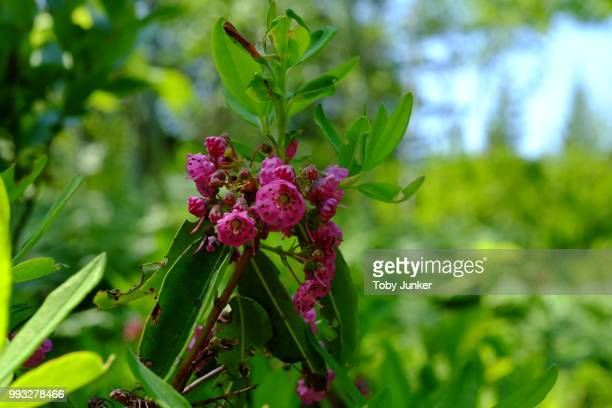 wild maine mountain laurel - mountain laurel stock pictures, royalty-free photos & images