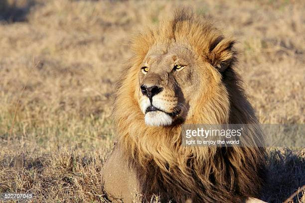 Wild male lion portrait