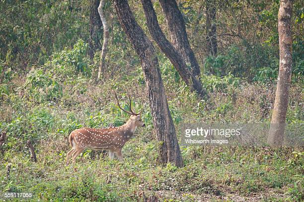 wild male spotted deer (chital) in forest, chitwan - terai stock pictures, royalty-free photos & images