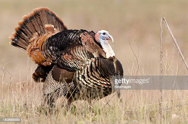 A wild male turkey displaying his feathers