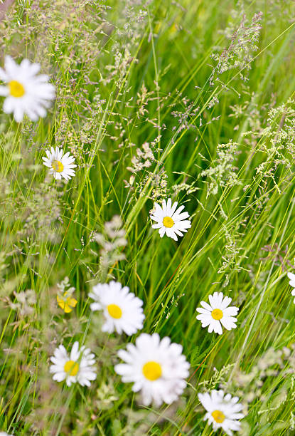 Wild Marguerites Amongst Long Summer Grasses Wall Art