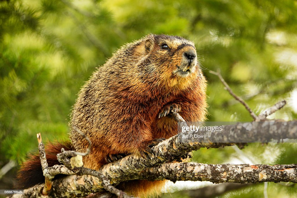 Wild Marmot in a Tree : Stock Photo