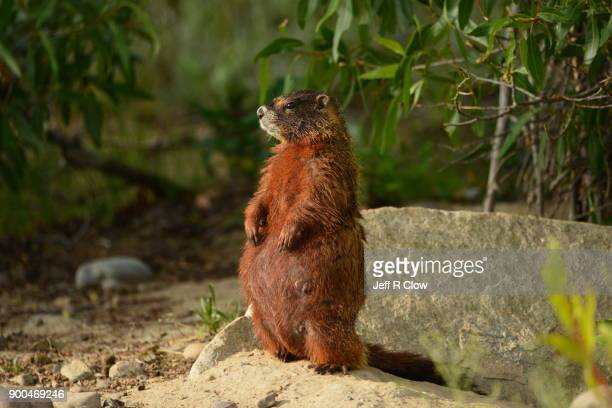 wild marmot three - jackson hole stock pictures, royalty-free photos & images