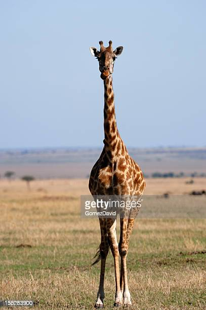 wild masai giraffe on the mara - safari animals stock pictures, royalty-free photos & images