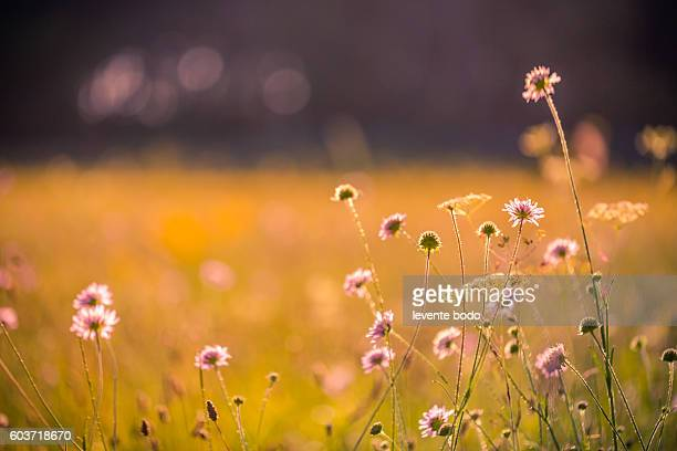 Wild meadow pink flowers on morning sunlight background. Autumn field background
