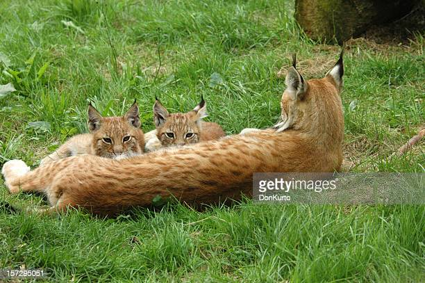 wild milkbar - lynx stock photos and pictures