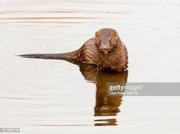 wild mink in water - mink animal stock pictures, royalty-free photos & images