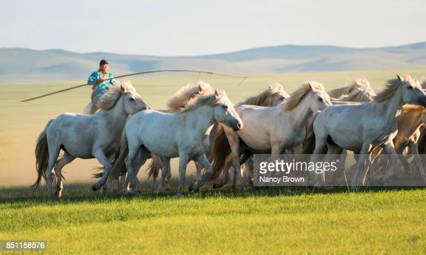 wild mongolian horses running with horseman in inner mongolia china. - nancy green stock pictures, royalty-free photos & images