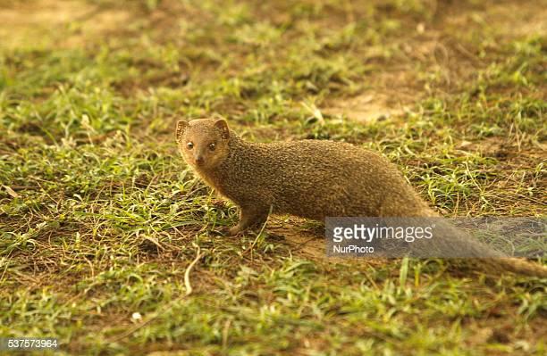 mongoose ストックフォトと画像 getty images
