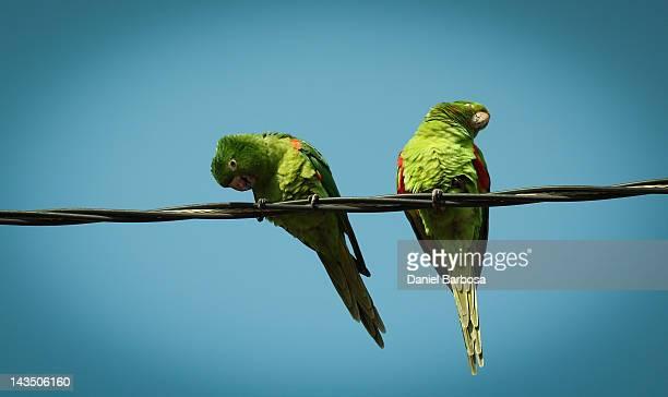 Wild monk parrot on wire
