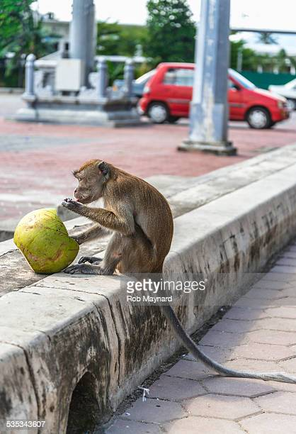 wild monkey eating the coconut at kuala lumpur - coconut crab stock pictures, royalty-free photos & images