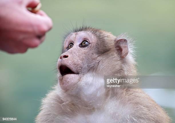 野生猿人で人間の手 - バーバリーマカク ストックフォトと画像