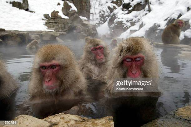 Wild monkeys bathe in hot springs at JigokudaniOnsen on January 29 2003 in NaganoPrefecture Japan This is the only place in the world where wild...