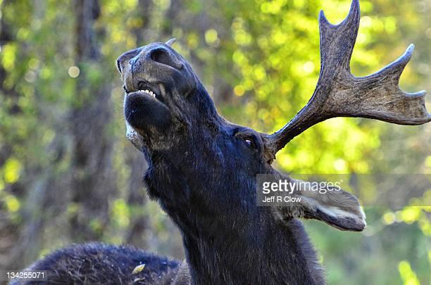 Wild moose at closeup