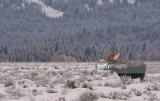 wild moose på vintern vid jul i grand tetons national park och yellowstone national park usa - älg bildbanksfoton och bilder