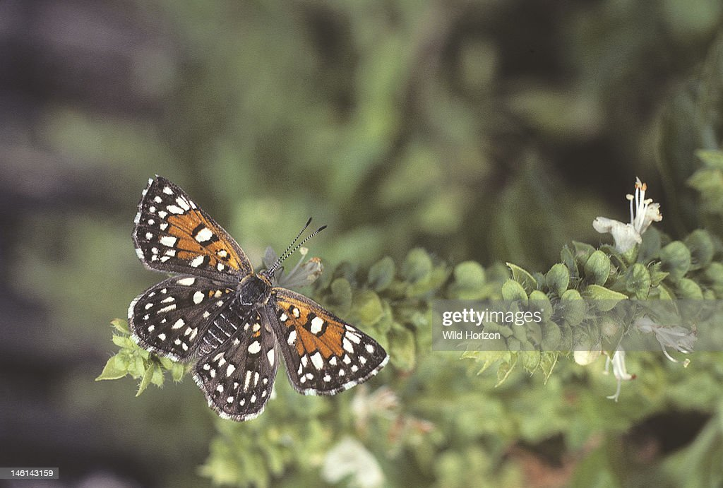 wild mormon metal mark butterfly on sweet basil apodemia mormo this