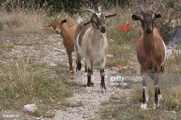 Wild mountain goats in Provence
