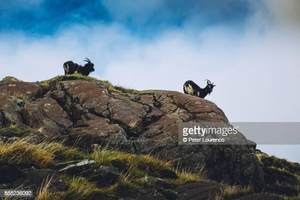 wild mountain goats - peter lourenco fotografías e imágenes de stock
