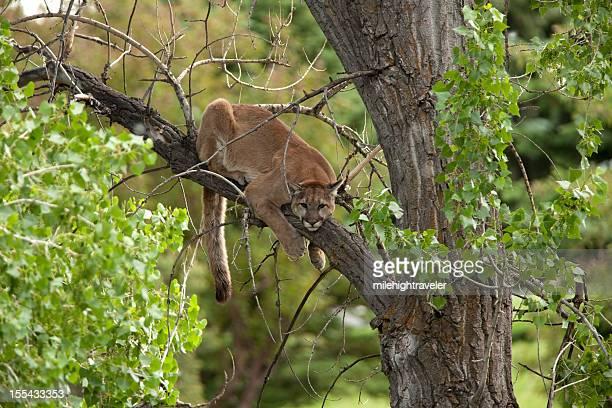 Wild mountain lion Morrison Colorado horizontal
