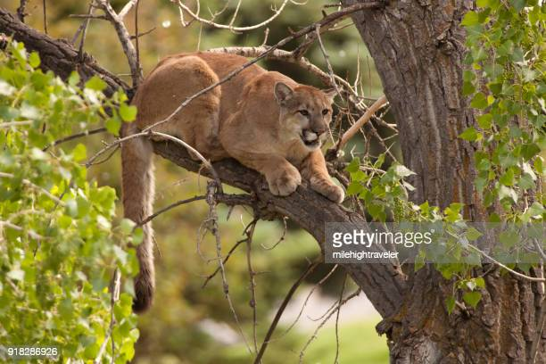 Wild mountain lion perched cottonwood tree Morrison Colorado