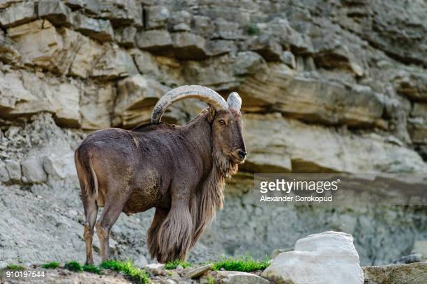 Wild mountains goat on the rock in national safari park Sigean, Frnace