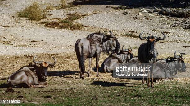 Wild mountains goats in national safari park Sigean, France