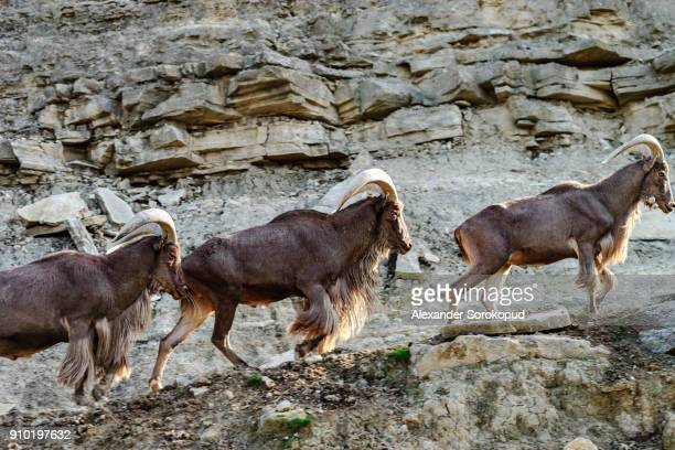 Wild mountains goats on the rock in national safari park Sigean, Frnace