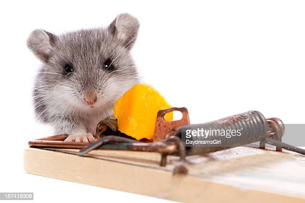 Wild Mouse and Mousetrap with Cheese Close Up Isolated