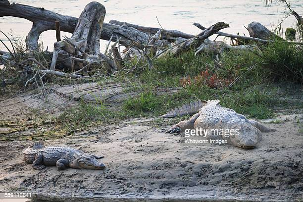wild mugger crocodiles on riverbank - terai stock pictures, royalty-free photos & images